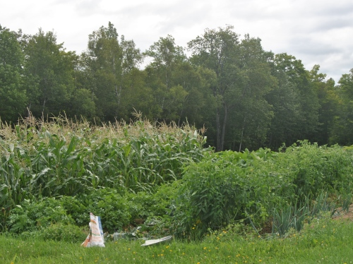 Corn, tomatoes, and another potato view.